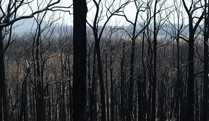 Trees burnt by bushfires